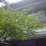 樹齢40年の紅葉